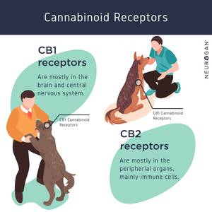 Infographic showing CB1 and CB2 Receptors in Dogs